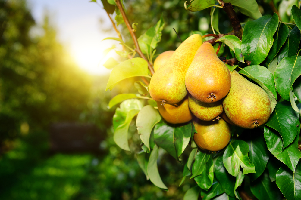 Fresh pears on tree branch at sunny day